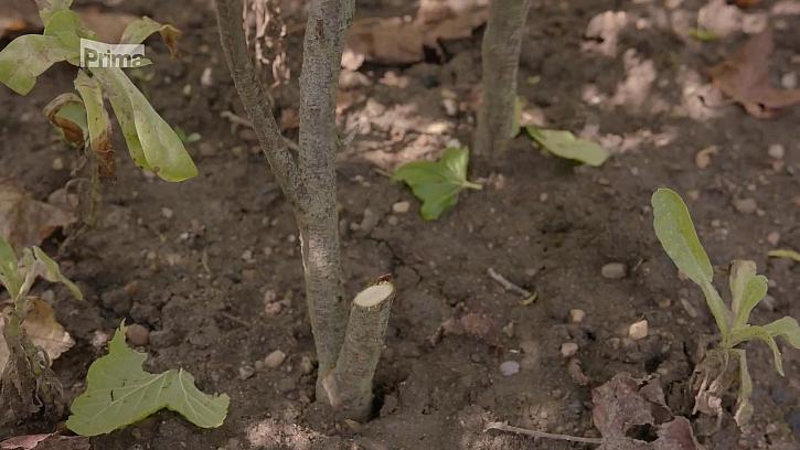 Množení rostlin řízkováním ušetří peníze za nákup nových keřů (Zdroj: Množení drobného ovoce řízkováním)
