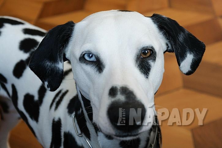 Dalmatin, který by měl být pro modré zbarvení oka vyřazen z chovu