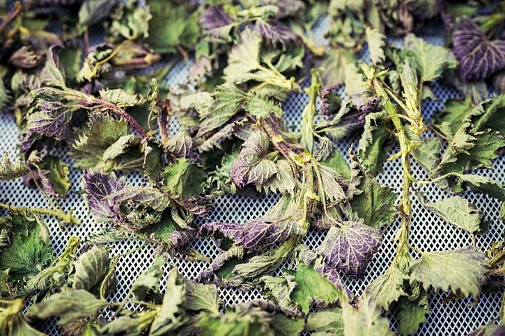 Jak sušit bylinky?