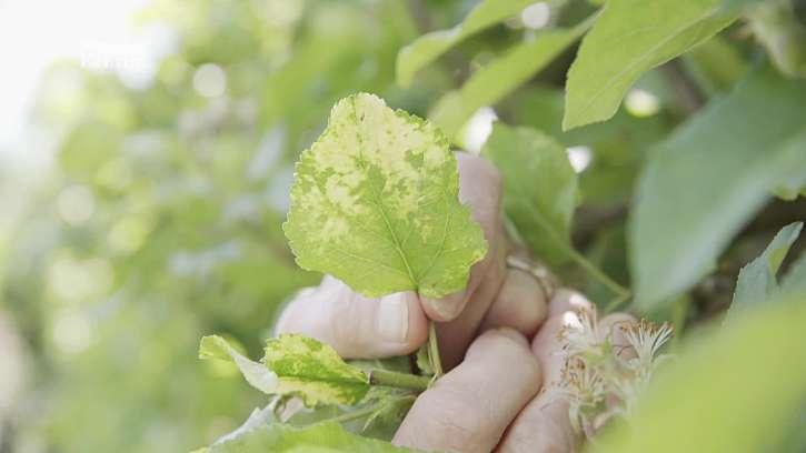 Spoustu plodin a okrasných rostlin napadají škůdci z rodu křísovitých
