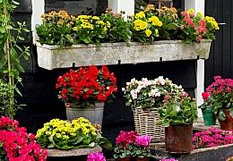 Jak můžete vyzdobit balkon méně tradičními květinami: Brambořík a kalanchoe