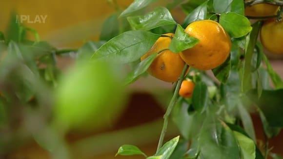 Sklizeň citrusů