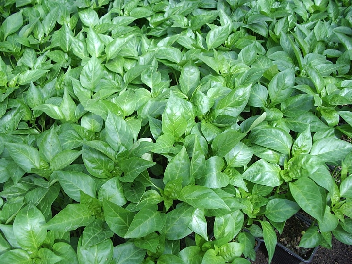 Mladé rostlinky staré 6 týdnů