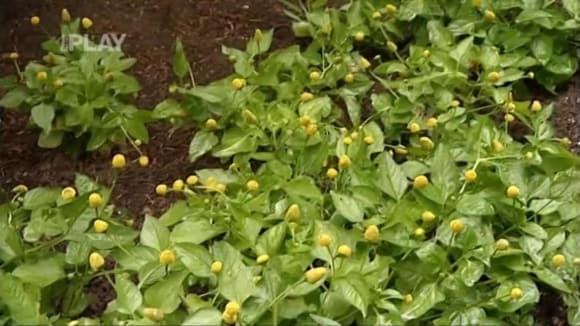 Léčivé květy rostliny spilant