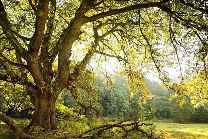 Dub letní – quercus robur patří k nejkrásnějším stromům, pokud máme místo a podmínky, je vždy správnou volbou