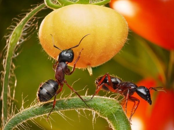mravenci na zelenině