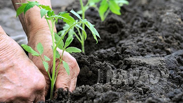 Obvyklá doba pro vysazení zeleniny na záhon je polovina května po zmrzlých mužích, kdy už nehrozí mrazy