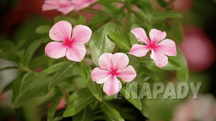 Katarantus růžový (Catharanthus roseus) nebo také barvínkovec růžový či katarantrůžový