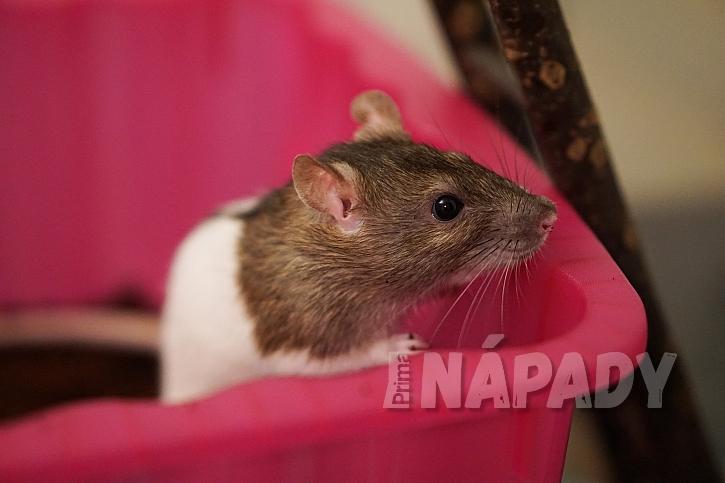 Potkan jako domácí mazlíček 3