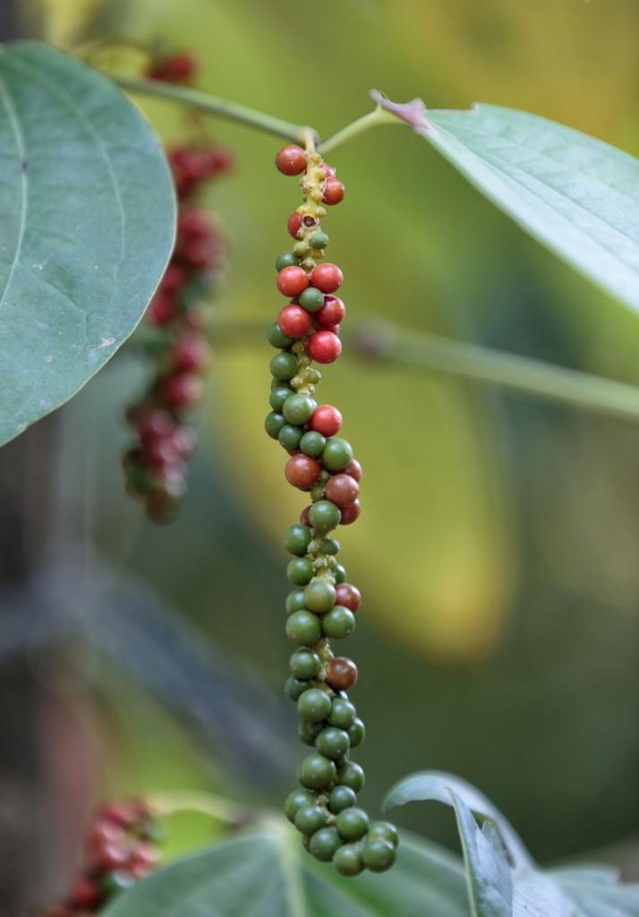 Pepř je rostlina, které se vyhýbá většina škůdců
