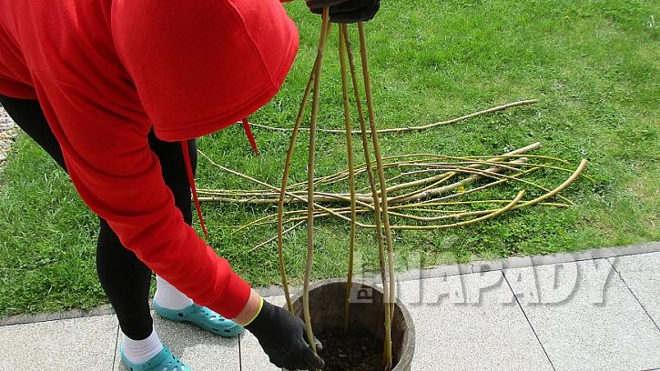 Jak pěstovat hrášek v nádobě: konce větví spojte provázkem