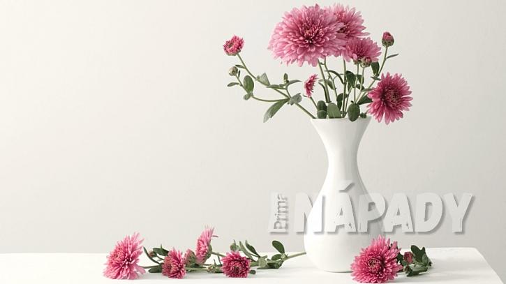 Chryzantémy jsou vděčnými květinami k řezu, ve váze v plné kráse až tři týdny