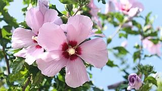 Ibišek je král letní zahrady: Miluje slunce a teplo, v dešti a zimě chřadne