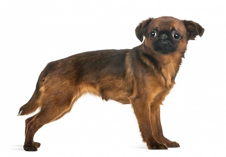 Grifonek brabantský: Rozvážný, přátelský a vyrovnaný psík