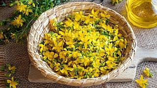 Svatojánská bylina plná slunce a pohody: Třezalka tečkovaná