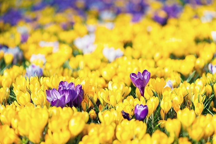 Šafrány umí vytvořit na zahradě velkolepou podívanou
