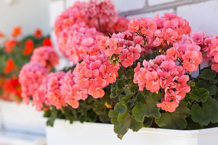 Nejčastěji pěstované pelargonie jsou ve vzpřímených kultivarech s jednoduchými květy (Depositphotos)