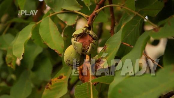 Sběr vlašských ořechů