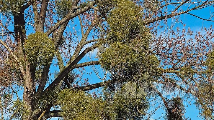 Jmelí bílé parazituje na stromech