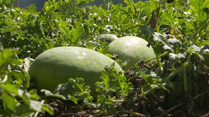 Jak pěstovat melouny i v našich končinách