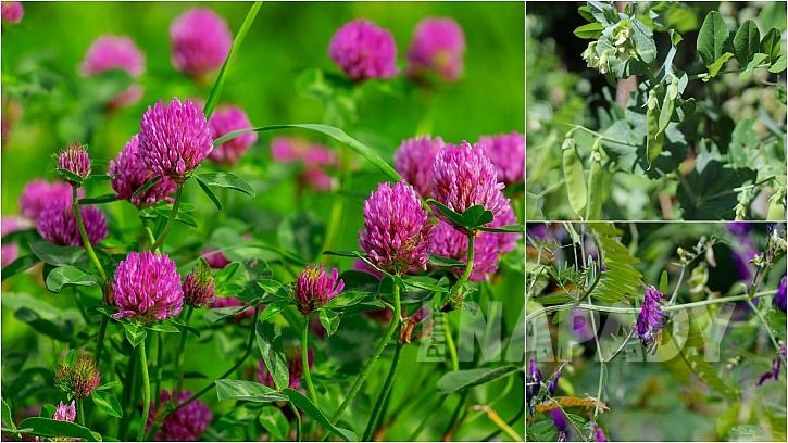 Zelené hnojení: jetel, hrách a vikev