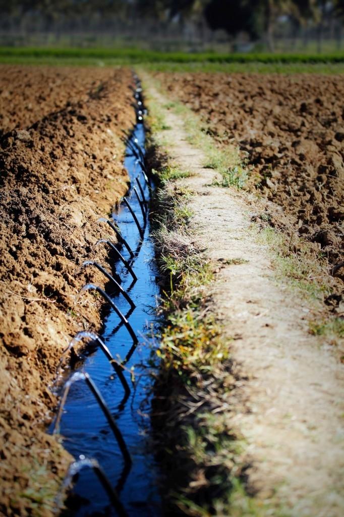 I velká pole mohou využívat kapénkovou závlahu