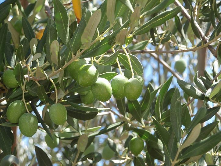 olivy Chorvatsko
