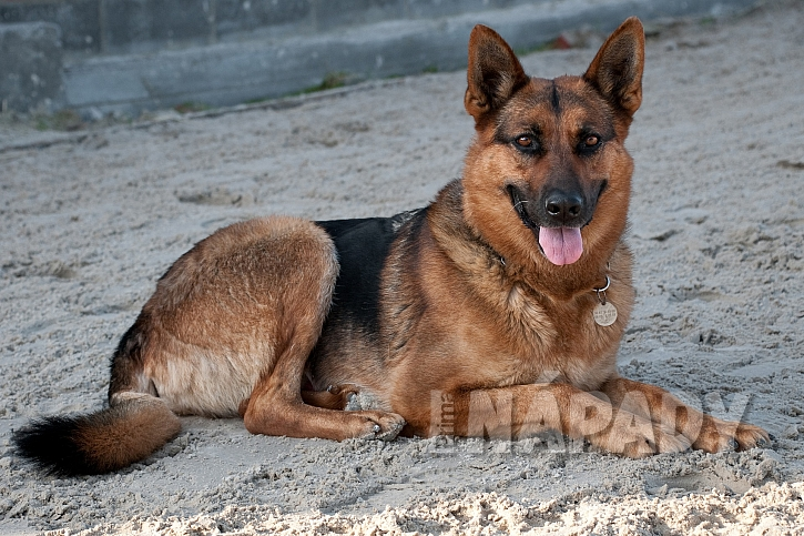 Plemeno pochází zNěmecka, kde se původně využívalo jako ovčácký pes