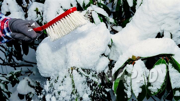 Zahrada v únoru: při sněhové nadílce setřásáme sníh zvětví okrasných dřevin a keřů