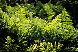 Venkovní kapradiny jsou vhodné do stinných míst zahrady