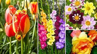 Tulipány, mečíky, jiřinky, begonie: Cibule, nebo hlízy? Víme, jak to je!