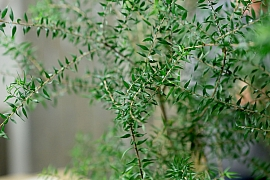 Rostlina kajeput a Tea tree olej: Víte, co mají společného?