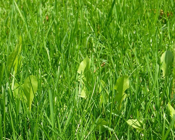 Funguje TRAVIN na všechny dvouděložné plevele?
