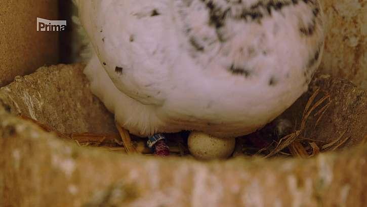 Holub na vejcích