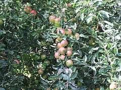 Bez včasné ochrany jahod a ovocných dřevin postřikem nám mohou zbýt jen oči pro pláč