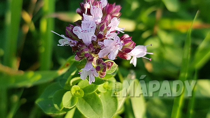 Přírodní antidepresiva: dobromysl obecná (Origanum vulgare)