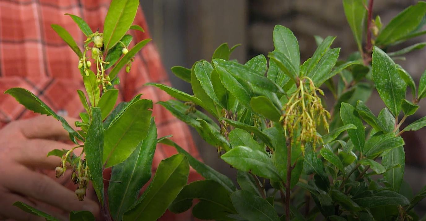 Jahodový stromek můžeme pěstovat jako přenosnou rostlinu vnádobě