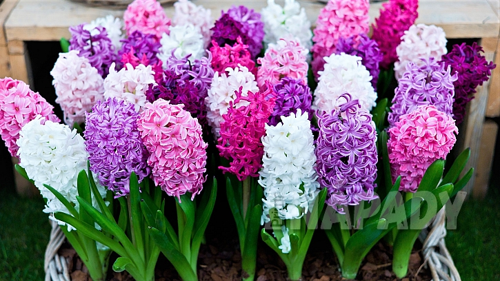 Hyacinty (Hyacinthus) jsouvyhledávané jarnícibuloviny, oblíbenédíky atraktivním, podmanivě vonícímkvětům