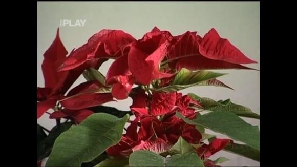 Vánoční květiny a jejich historie