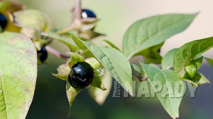 Jedovaté rostliny: rulík zlomocný (Atropa belladonna)