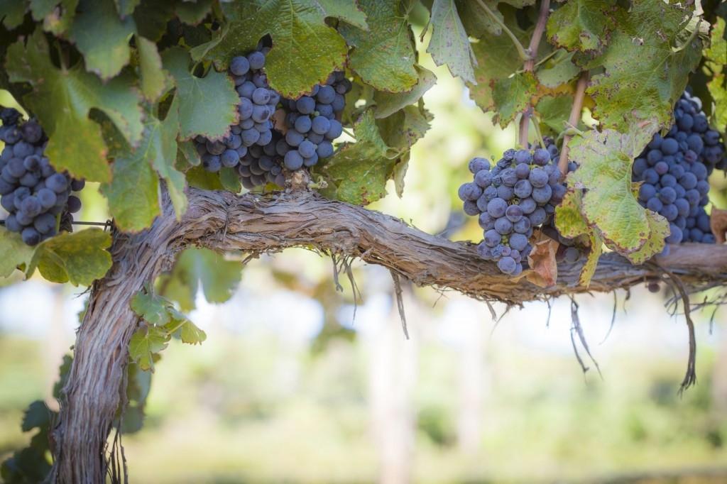 Pěstování révy - zkuste minivinici