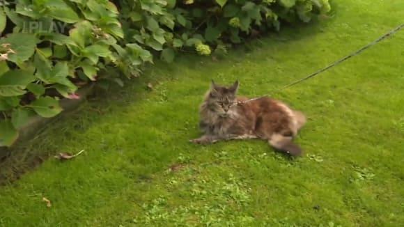 Venčení kočky domácí