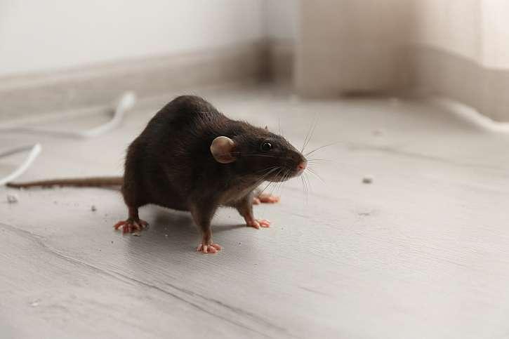 Na zimu se myši a potkani stěhují do našich příbytků (Zdroj: Depositphotos (https://cz.depositphotos.com))