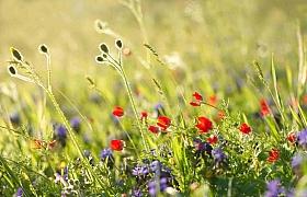 Proměňte svůj trávník v kvetoucí louku