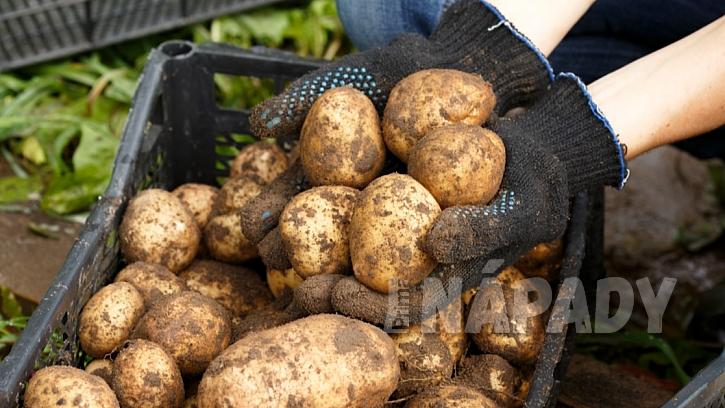 Jak a jaké brambory skladovat: sklizené brambory nejdříve pečlivě přeberte