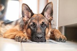 Německý ovčák: Sebevědomý ainteligentní pes sposlušnou povahou