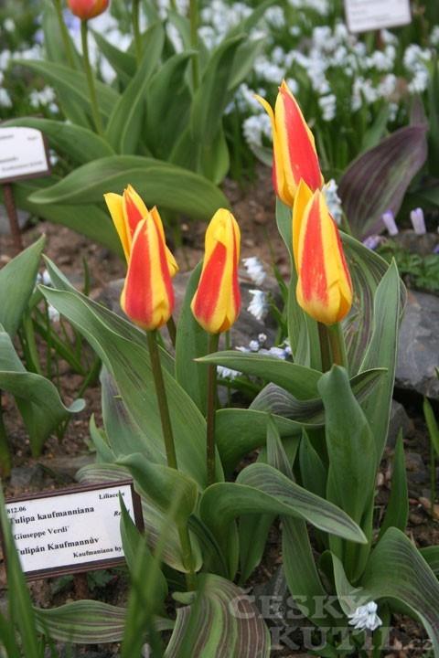 Tulipán Kaufmannův