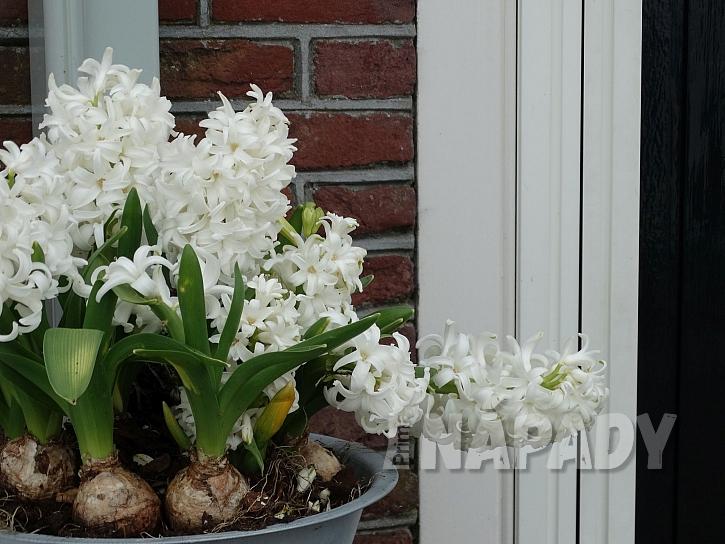 Hyacinty v květináči