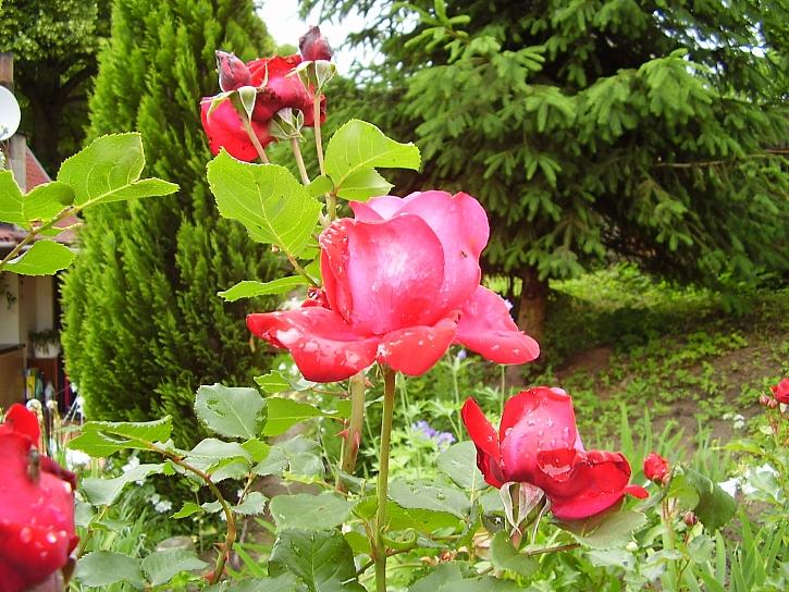 Růže na záhonech vydrží dlouho krásné, když si je nařežeme domů do vázy, brzy zvadnou (Zdroj: Pavlína Wagnerová Málková)