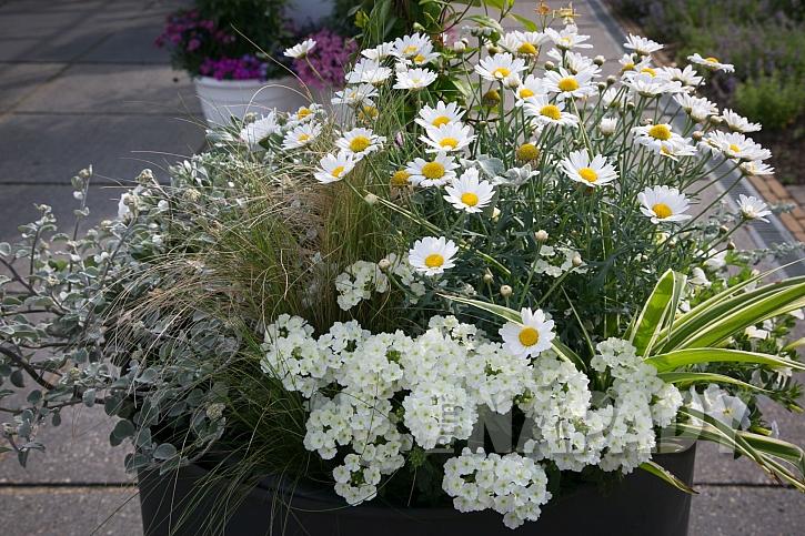 Bíle kvetoucí nádobová výsadba